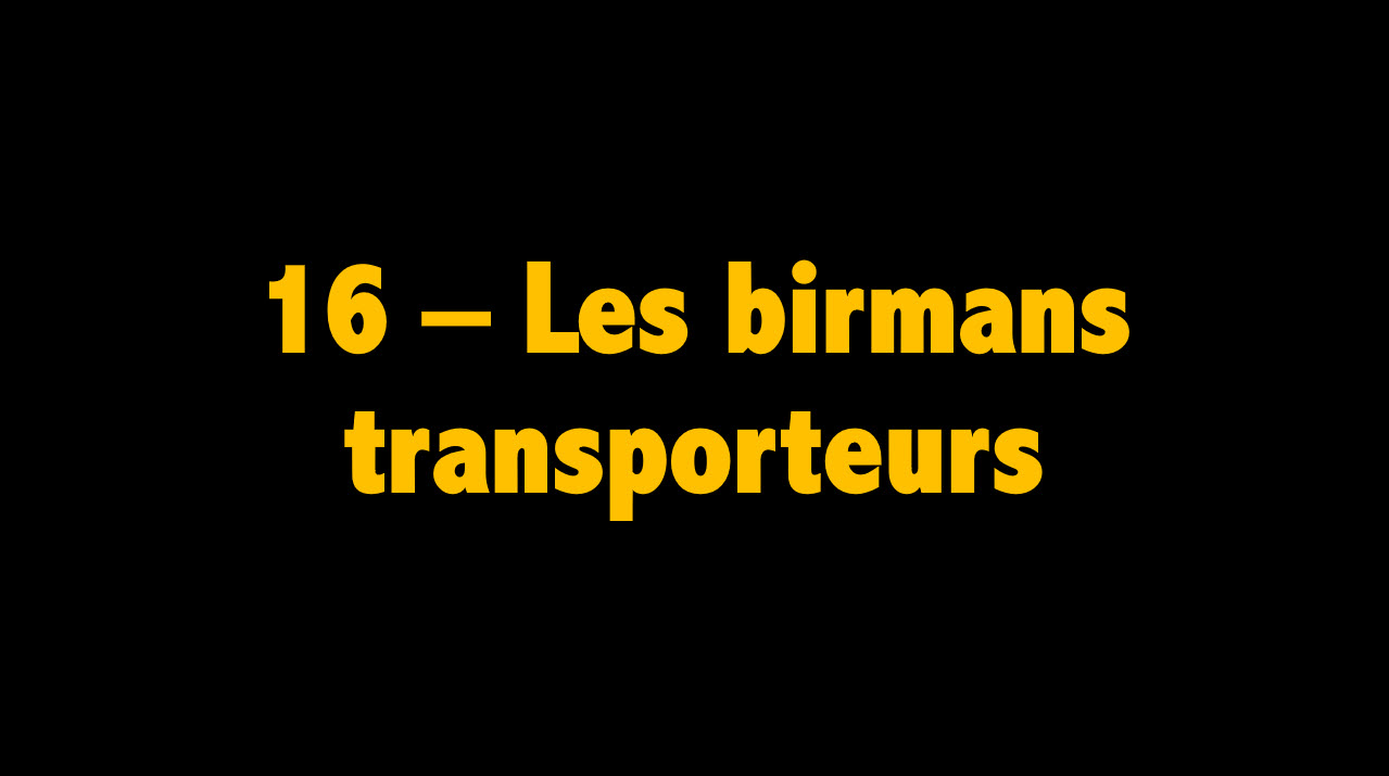 16 Les birmans transporteurs
